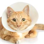 飼主分享:上完敏感貓主題課 馬上讓貓可自願戴頭套