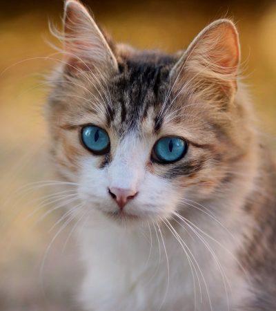 cat, blue eyes, pet