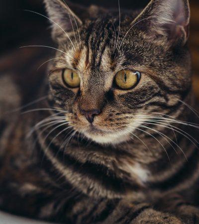 cat, domestic cat, mackerel